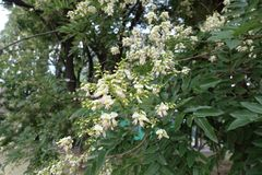 Close shot of raceme of flowers of Sophora japonica. Close shot of raceme of white flowers of Sophora japonica royalty free stock photos