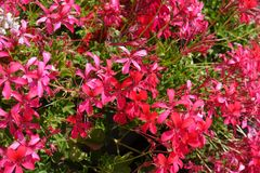 Close shot of salmon pink flowers of ivy-leaved pelargonium stock photo