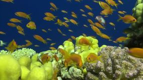 A close shot of a school of Anthias stock video