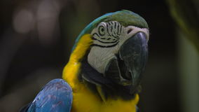 A close shot of a strict macaw parrot on a hot day is a large black beak open because of the heat, the yellow plumage. A close shot of a strict macaw parrot on a stock video