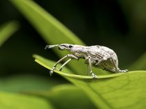 Insect weevil,Curculionidae Royalty Free Stock Photo