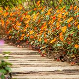 Close shot of wooden and concrete walkway in Impatiens garden. Colorful orange impatiens flowers are in bloom, flowering in summertime. Selective focus royalty free stock images
