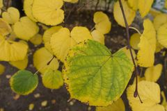 Close shot of yellowish green leaf of lime. Tree Stock Images
