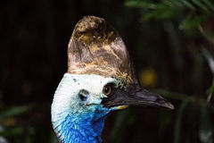 Close Side View of Cassowary Royalty Free Stock Photography