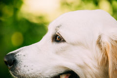 Close Side View Head Muzzle Portrait Of Yellow Golden Labrador Retriever Dog Stock Image