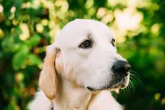 Close Side View Head Muzzle Portrait Of Yellow Golden Labrador Retriever Dog Stock Photos