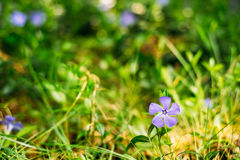 Close Small Garden Blossom Lilac Flower Growing In Green Grass O Royalty Free Stock Photos