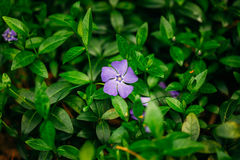 Close Small Garden Blossom Lilac Flower Growing In Green Grass Royalty Free Stock Photography