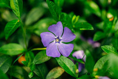 Close Small Garden Blossom Lilac Flower Growing In Green Grass Stock Images