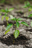 Close Small Green Vernal Seedling Of Capsicum, Pepper Or Capsicu Royalty Free Stock Photo