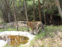 Close snap of tiger at national park. Walking tiger at park near pool Stock Photo