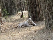Close snap of tiger sleeping at bamboo tree. NVery perfect close view of tiger Stock Image