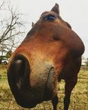 Close Sniffing Horse royalty free stock images
