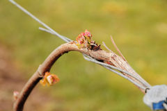 Close on Spring Grapevine Royalty Free Stock Images