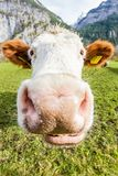 Close swiss cow smile stock photography