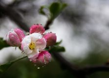 Rain drops on a tree flower stock photo