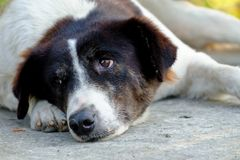 Close up Thai black white dog sleeping on cement ground floor in outdoor space. Close thai black white dog sleeping cement ground floor outdoor space adorable royalty free stock photo