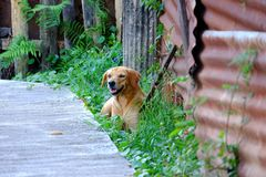 Young golden retriever dog sitting on a grass field with smiling face and cement pathway background royalty free stock images
