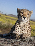 Close to  a cheetah Royalty Free Stock Photography