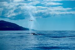 A fin whale surfaces catching a shearwater with its spout. Close to the coast of Pico Island, a migrating fin whale surfaces, surprising a Cory`s shearwater royalty free stock photography