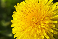 Close to a dandelion Royalty Free Stock Photography