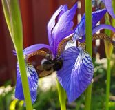 Close to a flower. Bumblebee in the garden Stock Photography