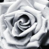Close to a flower. Rose in black and white Stock Photos