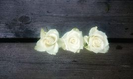 Close to a flower. White Roses In A Row Stock Images