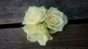 Close to a flower. White Roses Together Royalty Free Stock Photo