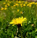 Close to a flower. Yellow flowers blossom Royalty Free Stock Photos