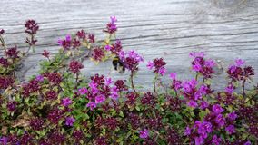 Close to  flowers. Bumblebee and nature Royalty Free Stock Photos
