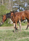 Close to Mom. Arabian filly with Mom in background Stock Photography