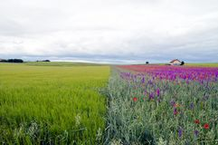 Divided fields. house with green grainfields, colourful delphinium flowers larkspur and poppies on a stormy summer`s day. royalty free stock photos