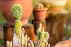 Small cactus is dying to die. Stock Images