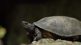 Close to Wild Forest Turtle Near the Pond. 4k UHD stock footage