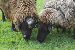 Close on Two Sheep Stock Photography