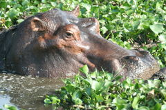 A close u of a hippo wallowing in a cabbage filled pond Stock Image
