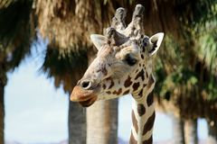 Close-uo of the head of a spotted giraffe Royalty Free Stock Photos