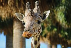 Close-uo of the head of a spotted giraffe Stock Images