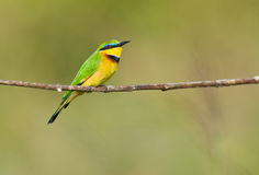 Close-uo of a jewel: Little Bee-eater Stock Image