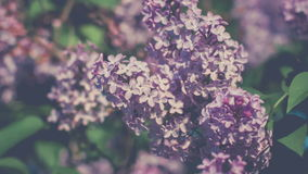 Close uo from Lilac bushes in full bloom in the spring, blurred green background. Close uo from Lilac bushes in full bloom in the spring, blurred background, 4K stock footage
