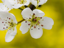 Close-uo of Pear Blossom Stock Photos