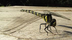 Black-tailed Skimmer dragonfly Stock Photos