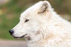 Close-up ártico adulto do lobo Fotografia de Stock Royalty Free