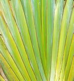 Close up – pattern of (Traveller's- tree ) Ravenala madagascar Royalty Free Stock Photos