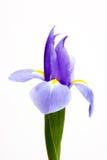 Close-up één blauwe iris die op witte achtergrond wordt geïsoleerde Stock Foto