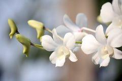 Close-up белых орхидей на светлой предпосылке Стоковые Изображения RF