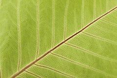 Close-up вен листьев Стоковые Фотографии RF