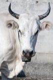 Close-up коровы Стоковые Фото