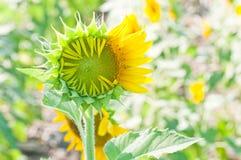 Close-up молодого солнцецвета Стоковые Фото